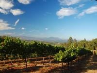 Grape plantation in Napa, California