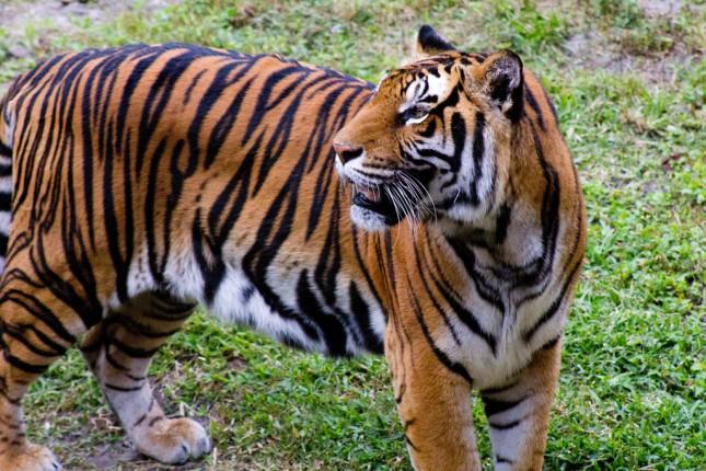 Tiger at the Animal Kingdom