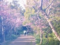 Cherry blossom in Okinawa